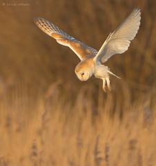 Golden Oldie (KHR Images) Tags: barnowl barn owl wickenfen cambridgeshire inflight hunting goldenlight tytoalba nikon d7100 birdofprey kevinrobson khrimages
