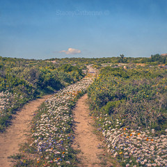 road to spring (stacey catherine) Tags: wcnp westcoast spring 2016 flowers nature landscape daisies textures layers langebaan