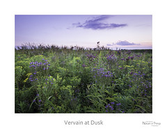Vervain at Dusk (baldwinm16) Tags: il illinois prairie summer august bluevervain ironweed sunset dusk wildflowers native nature natureofthingsphotography
