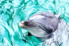 Bottlenose Dolphin, Erie of Shinagawa Aquarium :  (Dakiny) Tags: 2016 summer august japan tokyo shinagawa shinagawaku katsushima outdoor city street sport park shinagawakuminpark aquarium shinagawaaquarium dolphinshow portrait creature animal mammal seacreature bottlenosedolphin erie nikon d5100 nikkor 50mm f18 afsnikkor50mmf18g nikonafsnikkor50mmf18g nikonclubit