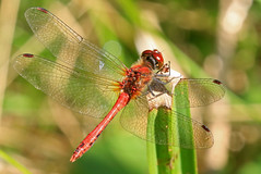 Ruddy Darter (paul.taylorptct) Tags: darter insect caught small flies minutes landed spot path ormesby little broad