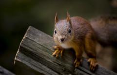 Just another squirrel... (Samuli Koukku) Tags: squirrel animal nature outdoor wildlife mammal canon 1dx2 70200 finland portrait