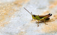 Hello guys [explored 24.08.2016] (Wenninger Johannes) Tags: insect insects insekt insekten grasshopper heuschrecke natur nature naturfoto naturephotography naturfotografie naturephoto animal animalphoto animalphotography austria linz sterreich