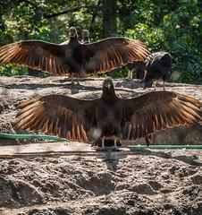 Black Vultures (Dabitz.com) Tags: blackvultures birding wilderness wildlifephotography nikond750 nikonphotography bearmountain statepark newyork wings birdwatching