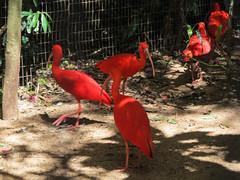 """Le Parc des Oiseaux d'Iguaçu: des ibis <a style=""""margin-left:10px; font-size:0.8em;"""" href=""""http://www.flickr.com/photos/127723101@N04/29351353210/"""" target=""""_blank"""">@flickr</a>"""