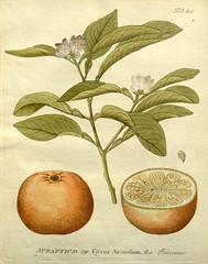 n78_w1150 (BioDivLibrary) Tags: botany botanymedical medicinalplants pictorialworks missouribotanicalgardenpeterhravenlibrary bhl:page=6462869 dc:identifier=httpbiodiversitylibraryorgpage6462869 citrus aurantium citrusaurantium