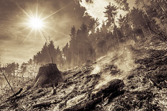 Forest fire (Nstajn) Tags: sony sonya7ii a7 forest nature fire wide sun blackandwhite bw sepia monochrome tree slovenia ngc zeiss 1635