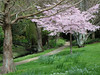 Spring in the gardens (Karen Pincott) Tags: lowerhutt spring ridiffordgardens blossom cherryblossom park pathway trees newzealand