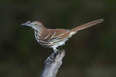 Brown Thrasher (AllHarts) Tags: brownthrasher backyardbirds memphistn naturesspirit naturescarousel ngc npc