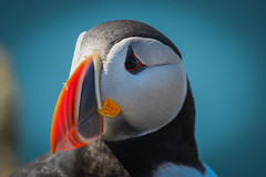 Atlantic Puffin (tobiasbegemann) Tags: atlantic puffin tobias begemann saarbrcken germany world street landscape people animal travel photography creative commons flickr outdoor sky blue red colorful nature animals