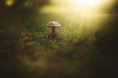 Last light (Tammy Schild) Tags: sundown mushroom ground grass light flare summer nature green glow helios