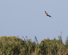 Cazando (taylor_pj) Tags: ave bird albufera
