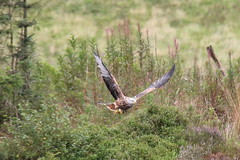 Red Kite (seentwistle) Tags: bwlch nant yr arian mid wales red kites kite birds prey