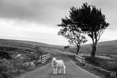 Military Road Sheep (shaymurphy) Tags: sheep farm animal outside outdoors tree military road wicklow mountains ireland irish black white