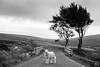 Military Road Sheep (shaymurphy) Tags: sheep farm animal outside outdoors tree military road wicklow mountains ireland irish black white