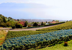 Grapes have different value (oobwoodman) Tags: switzerland suisse schweiz genfersee grandvaux lakegeneva lman lake lac lausanne lavaux grapes trauben raisins vendange harvest ernte