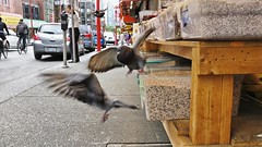 Food Fight or Flight (CollectivistaX) Tags: pigeons chinatown urbanjungle wildlife birds
