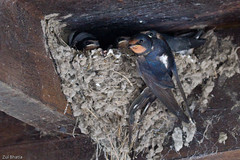 Swallow at nest, Aberfoyle (Zul Bhatia1) Tags: flickr uk wildlife aberfoyle barnswallow bird breeding chicks copyrightzulbhatia feedingyoung nest swallow unitedkingdom