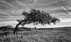 Dog Walkers (l4ts) Tags: landscape derbyshire peakdistrict darkpeak stantonmoor heather moorland oaktreebranch dogwalkers cloudscape blackwhite