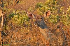 Inquisitive young kudu (Johann (Sasolburg, RSA)) Tags: kudu koedoe 7dwf goldenhour