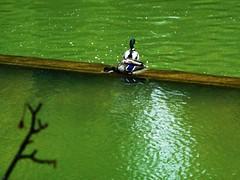 patos en el Arga-zona errotazar (eitb.eus) Tags: eitbcom 20267 g1 tiemponaturaleza tiempon2016 fauna nafarroa pamplonairua txelofernndez
