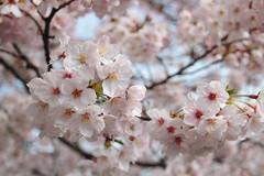 White Sakura (Toni Kaarttinen) Tags: japan  japonia    jap japonsko jaapan  japani japon xapn    japn jepang an tseapin giappone  japna japonija  japo  japonska japn hapon  japonya nht bn japanese kawasaki spring daishi park daishipark hanami sakura cherry cherryblossom cherryblossoms