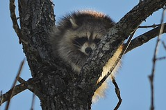 Catching some sun and zzzzz's (beyondhue) Tags: blue sky sun ontario canada tree eye nature face animal spring high ottawa young sit rays contact raccoon racoon 2012 beyondhue
