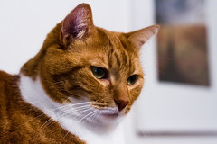 (ChapouX) Tags: cat ginger chats chat kitty roux chatte chattes