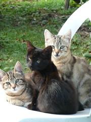 chatons à défaut de chatons botaniques pour un printemps qui n'en est pas un