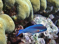 Iridescent Blue (Miasis Dragon) Tags: belize hopkins gloversreef jaguarreeflodge tg820 olympustg820gloversreef
