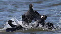Coot fight (Maxwell Law Photography LRPS) Tags: coot welney