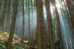 Make it Glow! (Treveri) Tags: trees light sun nature forest outdoors march washington spring nw pacificnorthwest wa sunbeam oysterdome nikkor50mmf18d 2013 nikond600