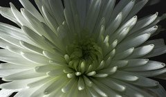 Chrysanthemum (Willbury not about much.) Tags: lighting flower macro canon flash tamron chrysanthemum 24105 canon7d