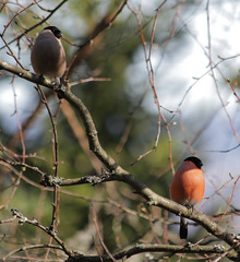 Bird Love Couple (MasterOMH) Tags: bullfinch pyrrhulapyrrhula eurasianbullfinch fugler nesodden dompap vrtegn tomsan bjrnemyr masteromh oslofjordensindrefilet