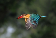 Kingfisher airlines (kampang) Tags: allweather storkbilledkingfisher pelargopsiscapensis kingfisherairlines longhaulflight