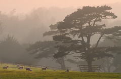 Soft  light (woolyboy) Tags: uk trees mist rural twilight sheep eastsussex ambiance folkington woolyboy