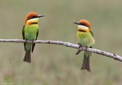 Chestnut-headed Bee-eater (Merops leschenaulti) @ Khao Yai National Park, Thailand_20130315_0543 (LawrenceNeo) Tags: chestnutheadedbeeeater