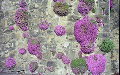 the color purple (Riex) Tags: flowers film fleurs switzerland spring purple suisse minolta violet mauve walls printemps fleuri murs maxxum amount vaud lavaux flowery minoltaamount quartzdate xpxi maxxum2880mmf456xi