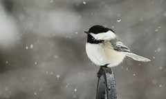 Black Capped Chickadee (mr_smee44) Tags: bird nature yard newhampshire feeder nh brookline mygearandme mygearandmepremium mygearandmebronze mygearandmesilver mygearandmegold mygearandmeplatinum photographyforrecreationclassic