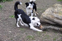 Dogs and sticks (Marlytyz) Tags: dogs sticks bordercollies