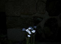 enjoy (jam343) Tags: flowers blue 50mm spring springstar  springstarflower ipheion