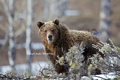 Grizzly in Aspens (Daryl L. Hunter - The Hole Picture) Tags: usa forest unitedstates wildlife jacksonhole questioning grizzlybear aspentrees grandtetonnationalpark longface grizzlycub bearinwoods