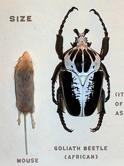African Goliath Beetle (Vinny Gragg) Tags: chicago museum insect mouse illinois beetle insects fieldmuseum mice museums chicagoillinois goliathbeetle thefieldmuseum africangoliathbeetle