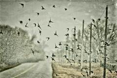 Flurries - HSS! (NancyArmstrongThomson ~ away for awhile) Tags: road weather birds digital rural manipulated spring flock slide created flurries april iphoto blender telephonepoles countryroad starlings hss throughthecarwindow birdsandsnow happysliderssunday snapseed ourweatheryesterday