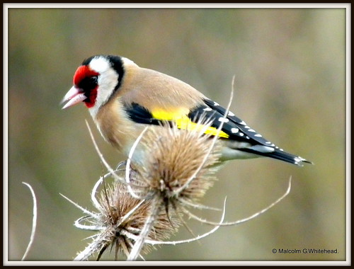European Goldfinch   (   Carduelis carduelis   ) On Explore.