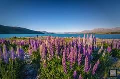 Summer Lupins (MunzerShamsul) Tags: travel newzealand summer lake flower travelling nature landscape evening nikon scenery turquoise bluesky canterbury southisland laketekapo iconic purpleflower touristattraction goldenhour lupins attraction clearsky scenicview solotrip d7000 tokina1116mm