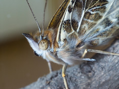 Painted Lady portrait (debit72) Tags: macro butterfly bug insect 55mm paintedlady gh2