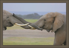 A meeting of old friends! (Rainbirder) Tags: kenya amboseli loxodonta africana specanimal africansavannahelephant photographyforrecreationeliteclub rainbirder
