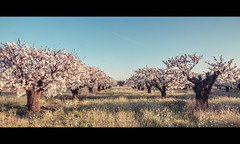 Mz (Pierre NATOLI) Tags: pink sunset tree field clouds canon cherry 50mm blossom 14 50mm14 7d provence 15mm cherrytree vaucluse cherryblossomtree carpentras mazan