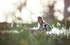 rabbit (CleanCletus) Tags: rabbit bunny oregon finley willamettevalley